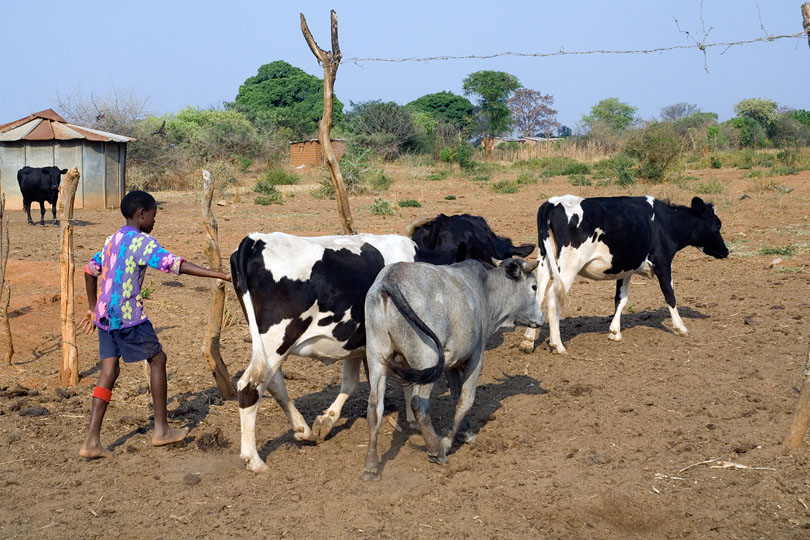 Farmers in rural areas are encouraged <p>to go into milk production
