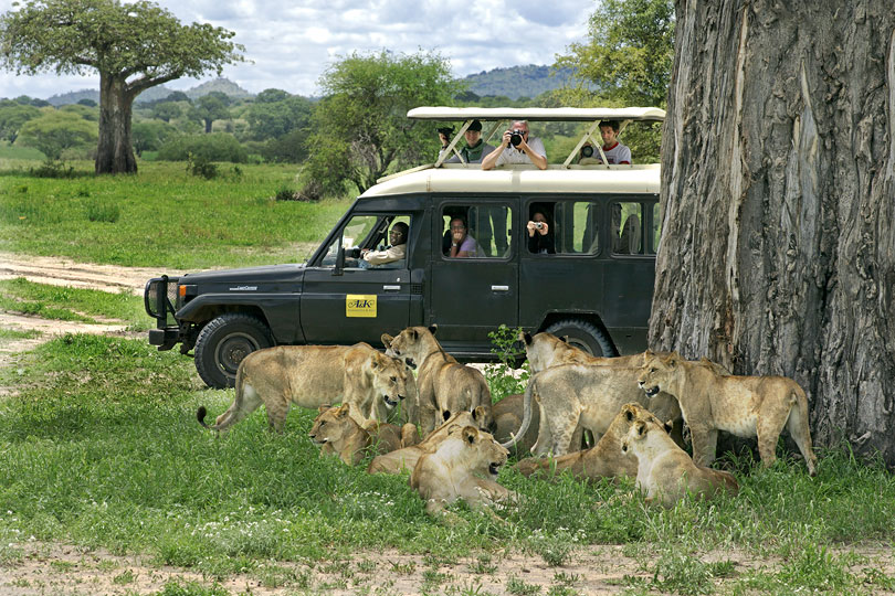 A&K clients watching a pride of lions, Tarangire National Park, Tanzania