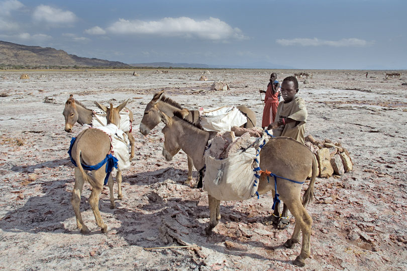 Donkeys are the only means of transport <p>to get the salt slabs to the lake shore