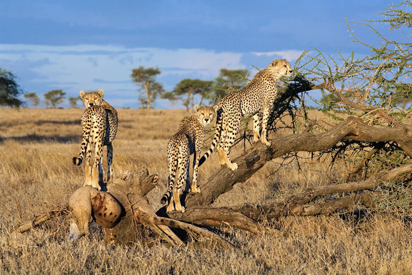 Hungry cheetahs looking for prey, Serengeti, Tanzania