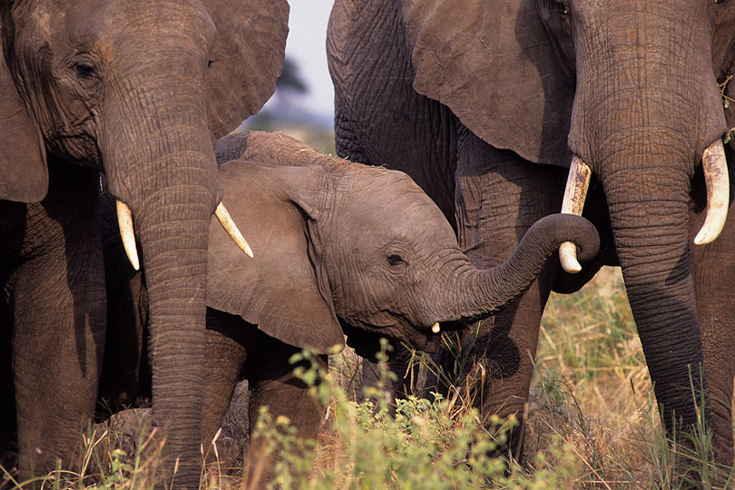 Elephant calf finding comfort among family group members, <p>Tarangire National Park, Tanzania