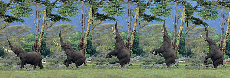 African elephant bull feeding on an Acacia tree,<p> Ngorongoro Crater, Tanzania