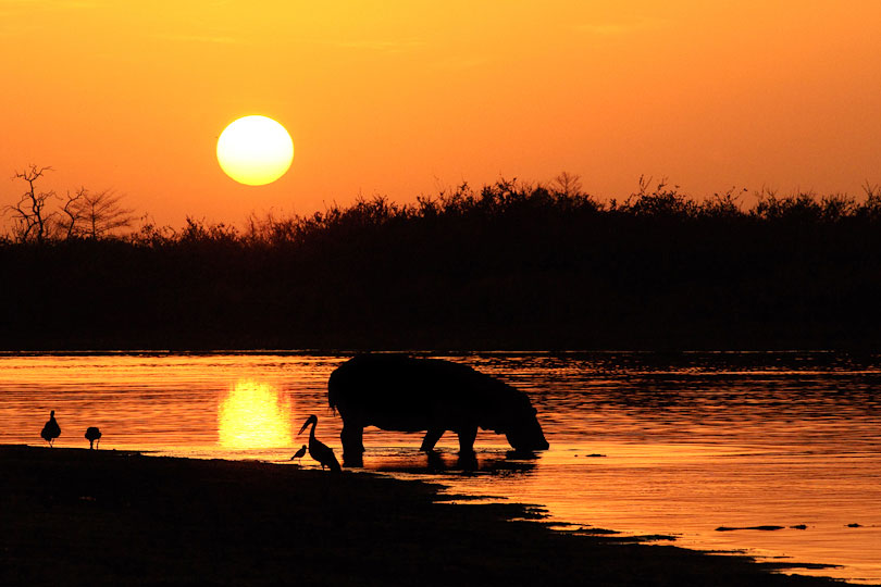 Hippopotamus returning at sunrise to Lake Tagalala, <p>Selous Game Reserve, Tanzania